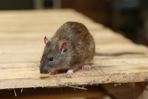 Rodent Control, Pest Control in Herne Hill, SE24. Call Now 020 8166 9746