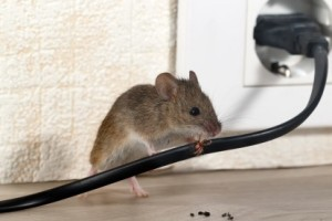 Mice Control, Pest Control in Herne Hill, SE24. Call Now 020 8166 9746