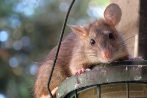 Rat Control, Pest Control in Herne Hill, SE24. Call Now 020 8166 9746